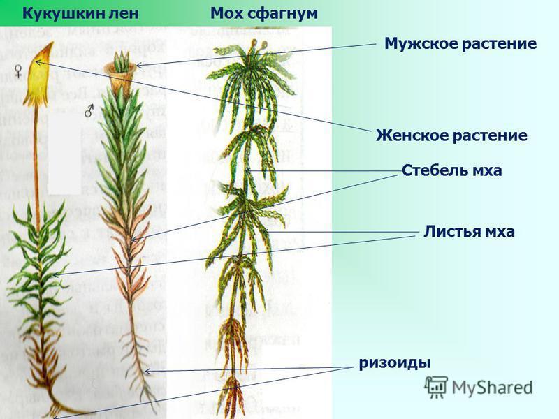 Мох сфагнум Кукушкин лен Мужское растение Женское растение Стебель мха ризоиды Листья мха