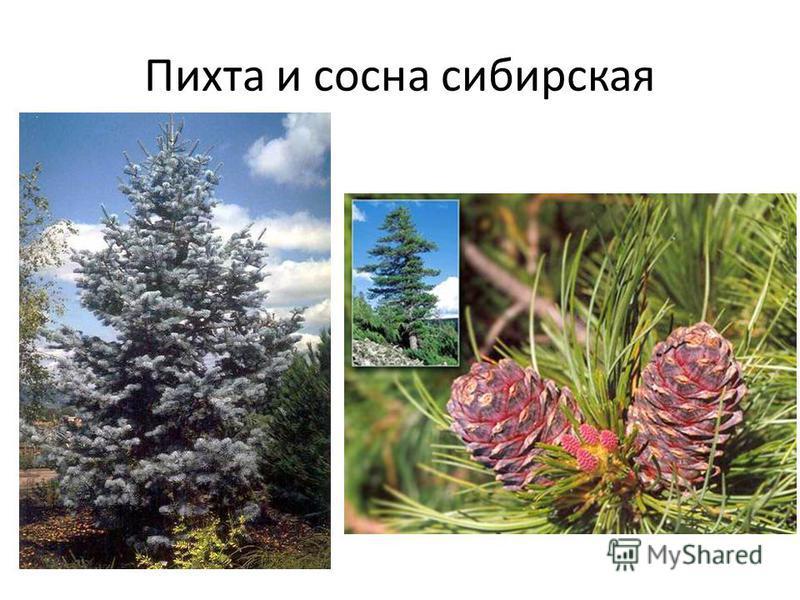 Пихта и сосна сибирская