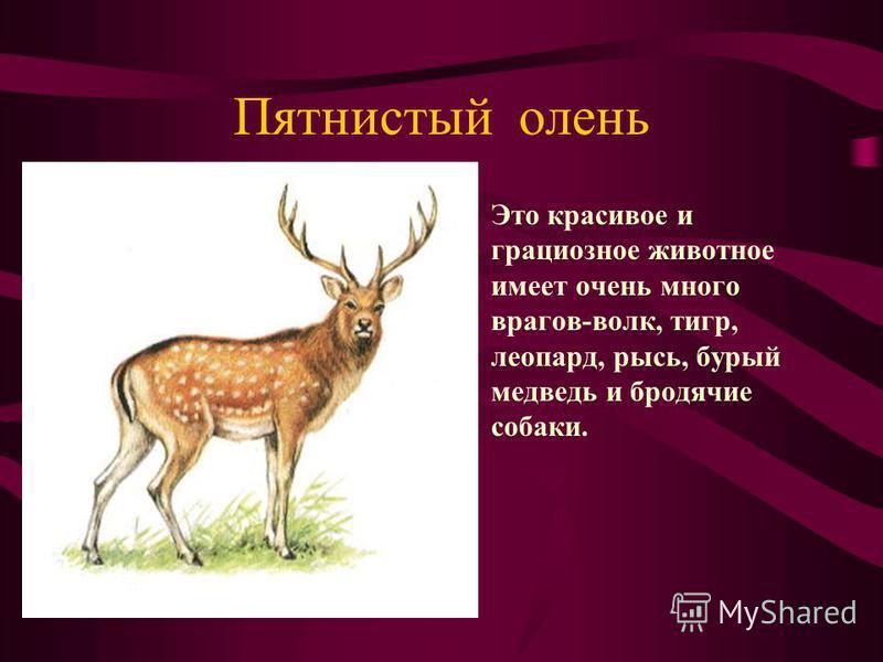 Пятнистый олень Это красивое и грациозное животное имеет очень много врагов-волк, тигр, леопард, рысь, бурый медведь и бродячие собаки.