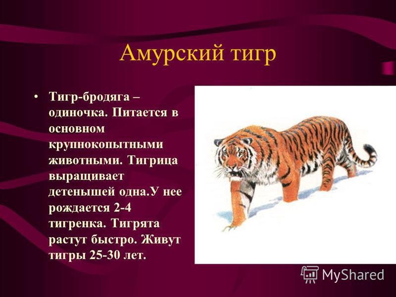 Амурский тигр Тигр-бродяга – одиночка. Питается в основном крупнокопытными животными. Тигрица выращивает детенышей одна.У нее рождается 2-4 тигренка. Тигрята растут быстро. Живут тигры 25-30 лет.