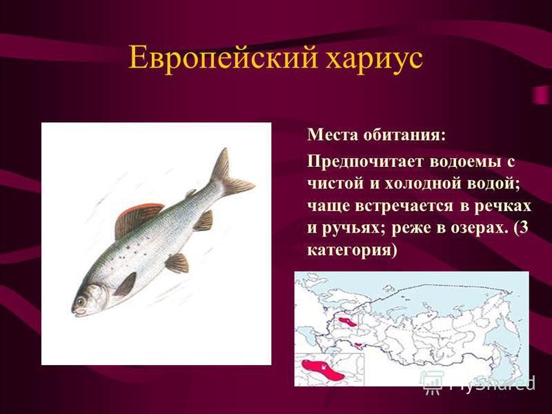 Европейский хариус Места обитания: Предпочитает водоемы с чистой и холодной водой; чаще встречается в речках и ручьях; реже в озерах. (3 категория)