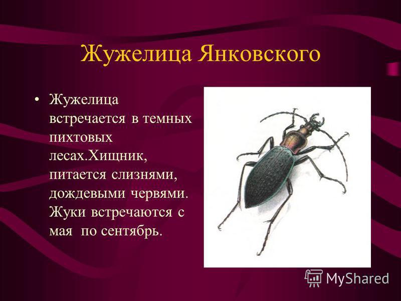 Жужелица Янковского Жужелица встречается в темных пихтовых лесах.Хищник, питается слизнями, дождевыми червями. Жуки встречаются с мая по сентябрь.
