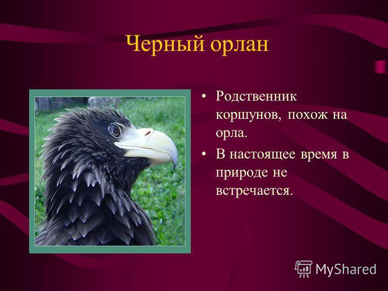 Черный орлан Родственник коршунов, похож на орла. В настоящее время в природе не встречается.