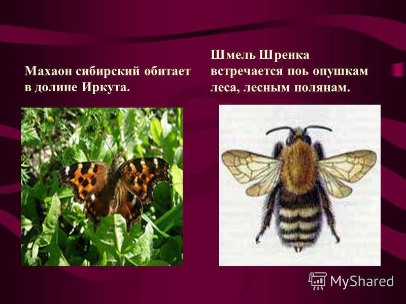 Махаон сибирский обитает в долине Иркута. Шмель Шренка встречается поь опушкам леса, лесным полянам.