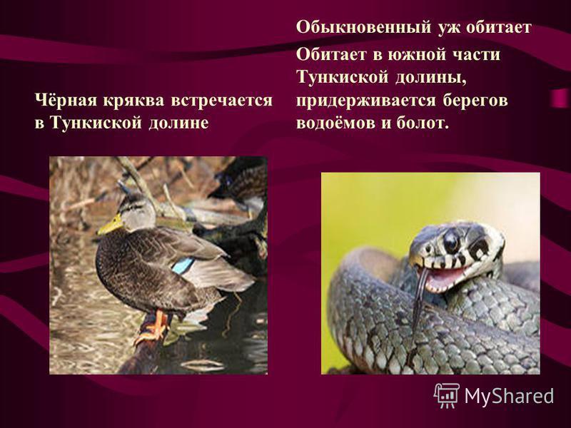 Чёрная кряква встречается в Тункиской долине Обыкновенный уж обитает Обитает в южной части Тункиской долины, придерживается берегов водоёмов и болот.