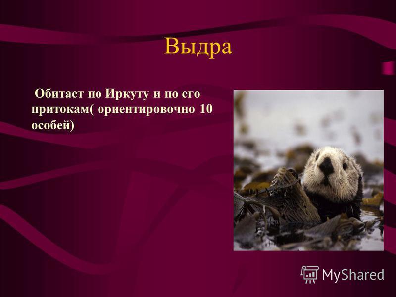 Выдра Обитает по Иркуту и по его притокам( ориентировочно 10 особей)