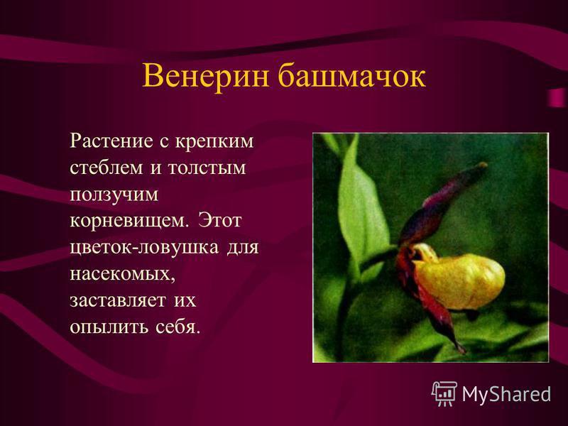 Венерин башмачок Растение с крепким стеблем и толстым ползучим корневищем. Этот цветок-ловушка для насекомых, заставляет их опылить себя.