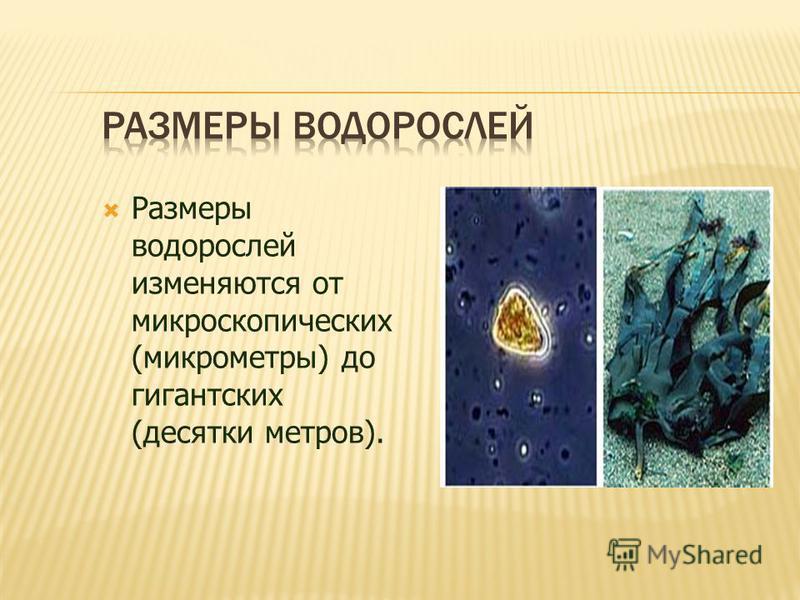 Размеры водорослей изменяются от микроскопических (микрометры) до гигантских (десятки метров).