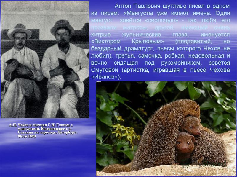 Антон Павлович шутливо писал в одном из писем: «Мангусты уже имеют имена. Один мангуст зовётся «сволочью» - так, любя, его прозвали матросы; другой, имеющий очень хитрые жульнические глаза, именуется «Виктором Крыловым» (плодовитый, но бездарный драм