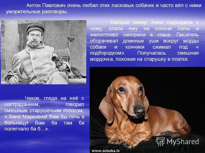Антон Павлович очень любил этих ласковых собачек и часто вёл с ними уморительные разговоры. Каждый вечер Хина подходила к нему, клала ему на колени лапы и жалостливо смотрела в глаза. Писатель оборачивал длинные уши вокруг морды собаки и кончики сжим