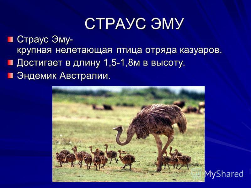 СТРАУС ЭМУ СТРАУС ЭМУ Страус Эму- крупная нелетающая птица отряда казуаров. Достигает в длину 1,5-1,8 м в высоту. Эндемик Австралии.