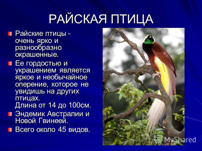 РАЙСКАЯ ПТИЦА Райские птицы - очень ярко и разнообразно окрашенные. Ее гордостью и украшением является яркое и необычайное оперение, которое не увидишь на других птицах. Длина от 14 до 100 см. Эндемик Австралии и Новой Гвинеей. Всего около 45 видов.