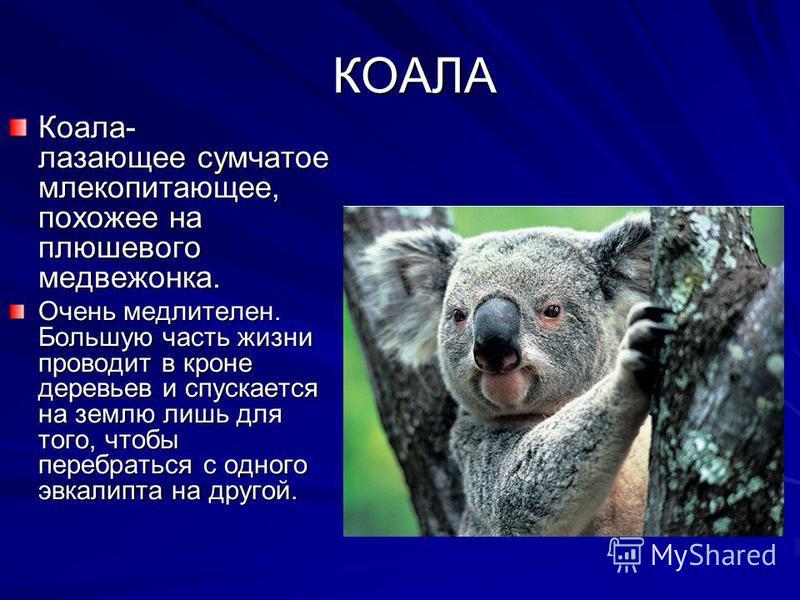 КОАЛА КОАЛА Коала- лазающее сумчатое млекопитающее, похожее на плюшевого медвежонка. Очень медлителен. Большую часть жизни проводит в кроне деревьев и спускается на землю лишь для того, чтобы перебраться с одного эвкалипта на другой.