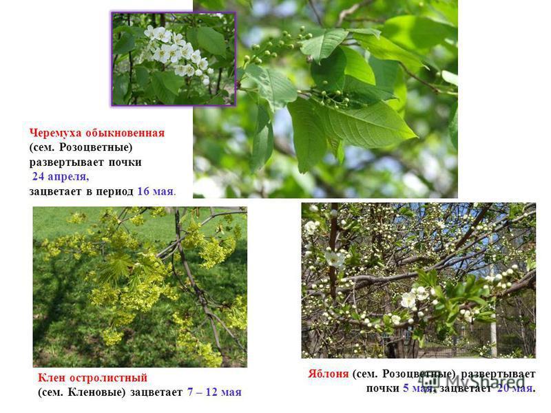 Черемуха обыкновенная (сем. Розоцветные) развертывает почки 24 апреля, зацветает в период 16 мая. Яблоня (сем. Розоцветные) развертывает почки 5 мая, зацветает 20 мая. Клен остролистный (сем. Кленовые) зацветает 7 – 12 мая