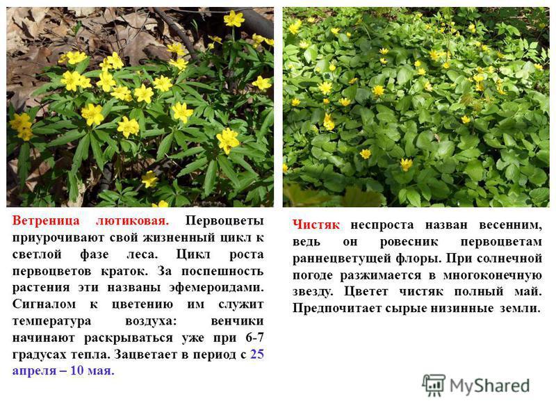 Ветреница лютиковая. Первоцветы приурочивают свой жизненный цикл к светлой фазе леса. Цикл роста первоцветов краток. За поспешность растения эти названы эфемероидами. Сигналом к цветению им служит температура воздуха: венчики начинают раскрываться уж
