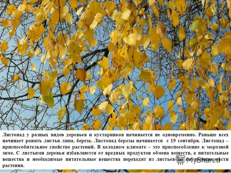 Листопад у разных видов деревьев и кустарников начинается не одновременно. Раньше всех начинает ронять листья липа, береза. Листопад березы начинается с 19 сентября. Листопад – приспособительное свойство растений. В холодном климате – это приспособле