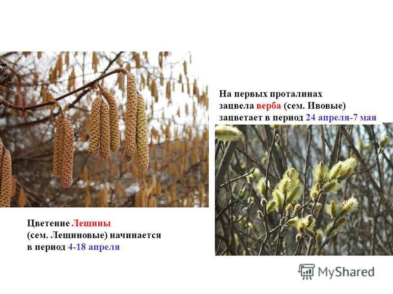 Цветение Лещины (сем. Лещиновые) начинается в период 4-18 апреля На первых проталинах зацвела верба (сем. Ивовые) зацветает в период 24 апреля-7 мая