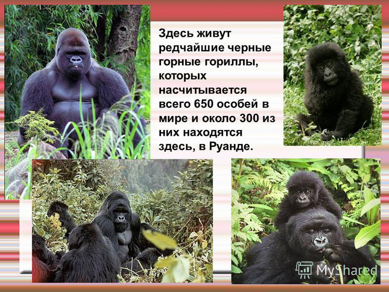 Здесь живут редчайшие черные горные гориллы, которых насчитывается всего 650 особей в мире и около 300 из них находятся здесь, в Руанде.