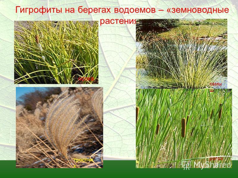 Гигрофиты на берегах водоемов – «земноводные растения» осока камы ш рогоз тростник