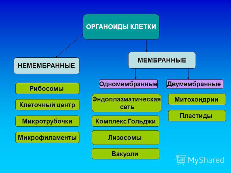 ОРГАНОИДЫ КЛЕТКИ НЕМЕМБРАННЫЕ МЕМБРАННЫЕ Одномембранные Двумембранные Рибосомы Клеточный центр Микротрубочки Микрофиламенты Эндоплазматическая сеть Комплекс Гольджи Лизосомы Вакуоли Митохондрии Пластиды