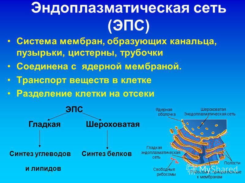 Эндоплазматическая сеть (ЭПС) Система мембран, образующих канальца, пузырьки, цистерны, трубочки Соединена с ядерной мембраной. Транспорт веществ в клетке Разделение клетки на отсеки ЭПС Гладкая Шероховатая Синтез углеводов Синтез белков и липидов