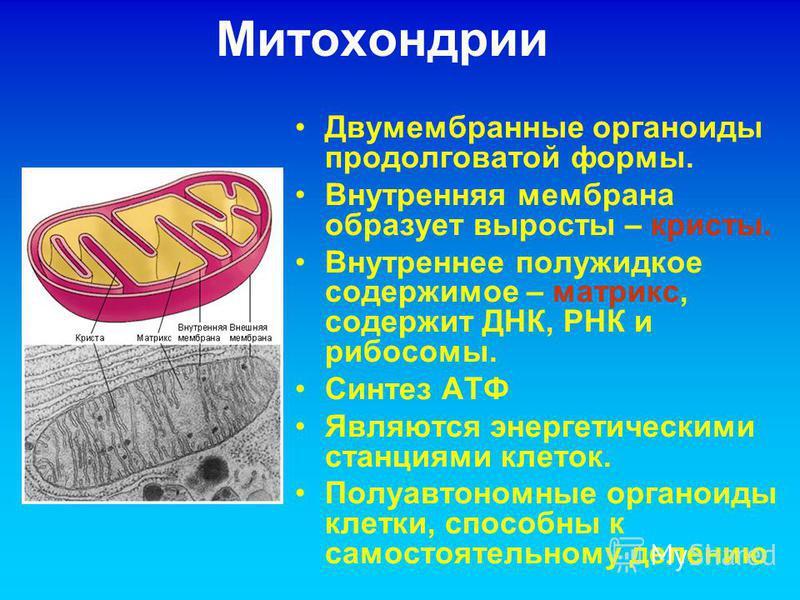 Митохондрии Двумембранные органоиды продолговатой формы. Внутренняя мембрана образует выросты – кристы. Внутреннее полужидкое содержимое – матрикс, содержит ДНК, РНК и рибосомы. Синтез АТФ Являются энергетическими станциями клеток. Полуавтономные орг