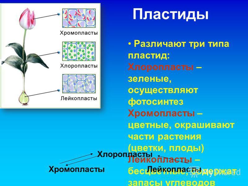 Пластиды Различают три типа пластид: Хлоропласты – зеленые, осуществляют фотосинтез Хромопласты – цветные, окрашивают части растения (цветки, плоды) Лейкопласты – бесцветные, содержат запасы углеводов Хлоропласты Хромопласты Лейкопласты