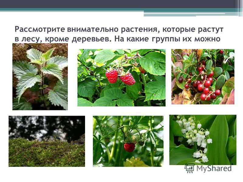 Рассмотрите внимательно растения, которые растут в лесу, кроме деревсев. На какие группы их можно разделить?