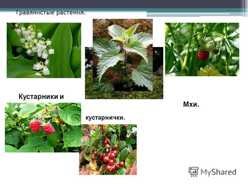 Травянистые растения. Кустарники и Мхи. кустарнички.
