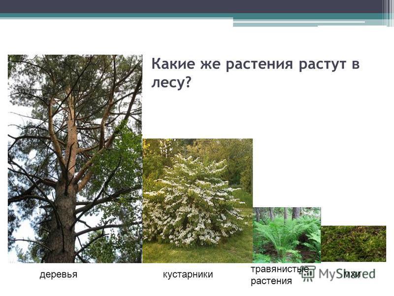Какие же растения растут в лесу? деревья кустарники травянистые растения ихи