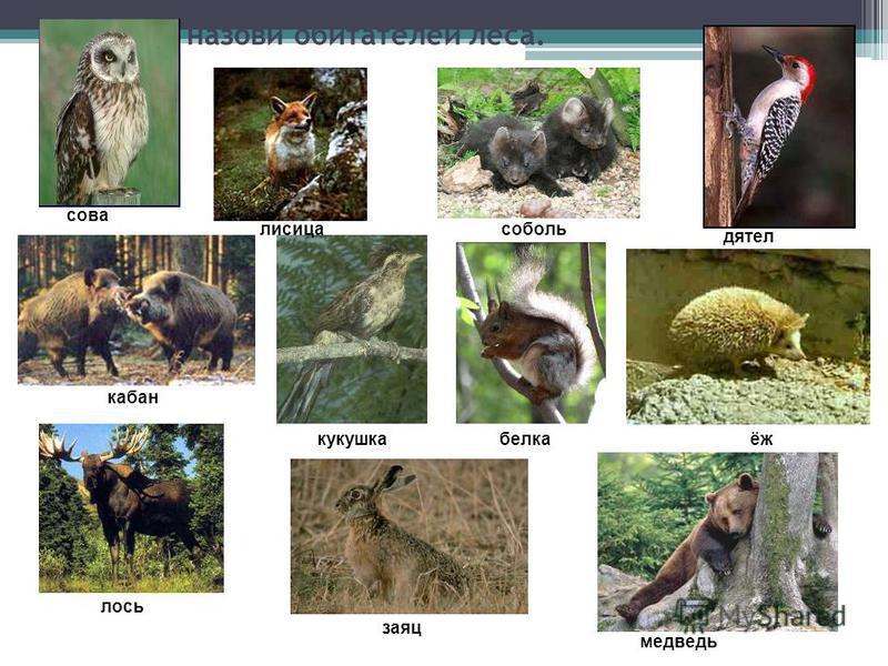 Узнай и назови обитателей леса. сова кабан лисица соболь кукушка лось заяц детел ёж медведь белка