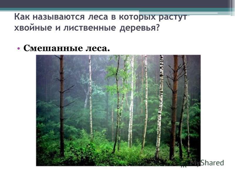 Как называются леса в которых растут хвойные и лиственные деревья? Смешанные леса.