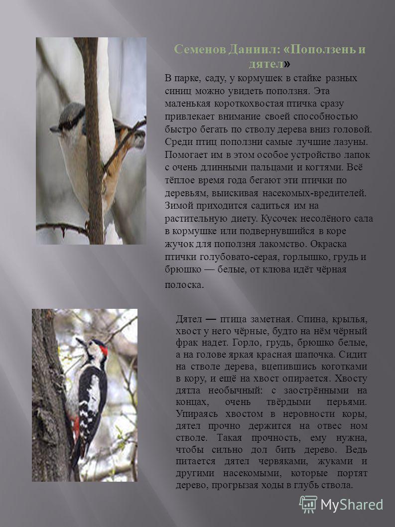Семенов Даниил: « Поползень и дятел » В парке, саду, у кормушек в стайке разных синиц можно увидеть поползня. Эта маленькая короткохвостая птичка сразу привлекает внимание своей способностью быстро бегать по стволу дерева вниз головой. Среди птиц поп