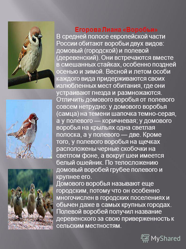 Егорова Лиана «Воробьи» В средней полосе европейской части России обитают воробьи двух видов: домовый (городской) и полевой (деревенский). Они встречаются вместе в смешанных стайках, особенно поздней осенью и зимой. Весной и летом особи каждого вида