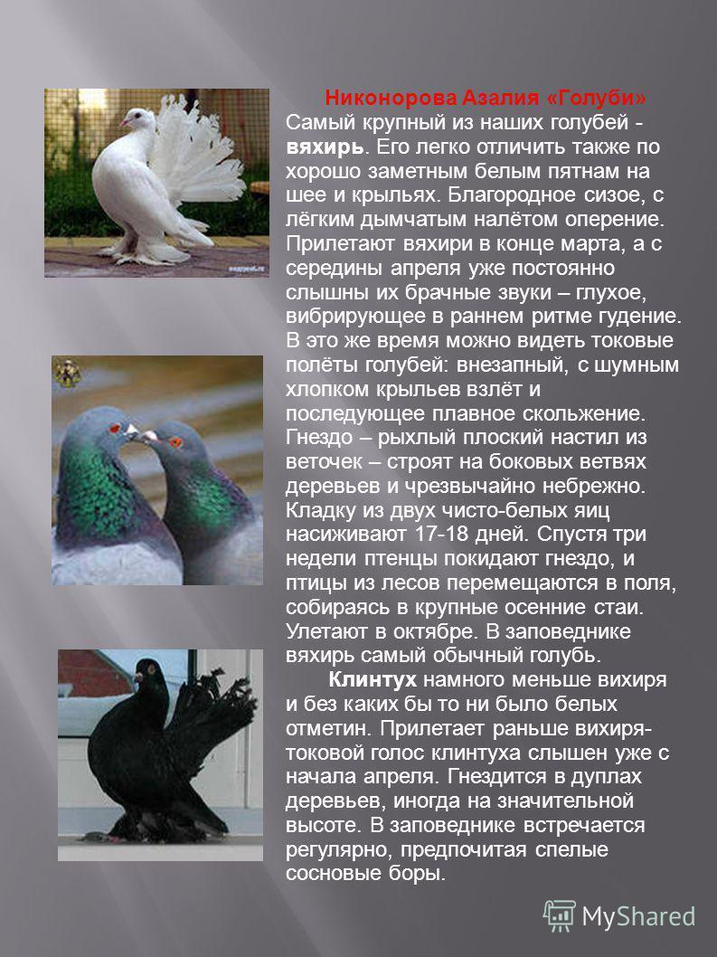 Никонорова Азалия «Голуби» Самый крупный из наших голубей - вяхирь. Его легко отличить также по хорошо заметным белым пятнам на шее и крыльях. Благородное сизое, с лёгким дымчатым налётом оперение. Прилетают вяхири в конце марта, а с середины апреля