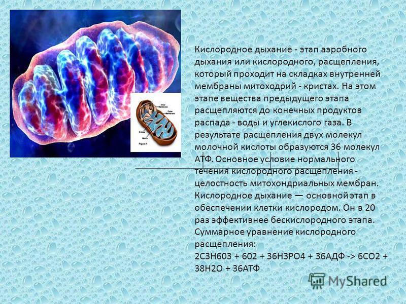 Кислородное дыхание - этап аэробного дыхания или кислородного, расщепления, который проходит на складках внутренней мембраны митохондрий - кристах. На этом этапе вещества предыдущего этапа расщепляются до конечных продуктов распада - воды и углекисло