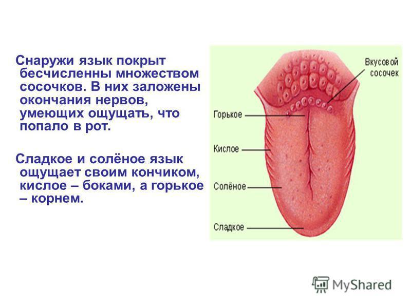 Снаружи язык покрыт бесчисленны множеством сосочков. В них заложены окончания нервов, умеющих ощущать, что попало в рот. Сладкое и солёное язык ощущает своим кончиком, кислое – боками, а горькое – корнем.