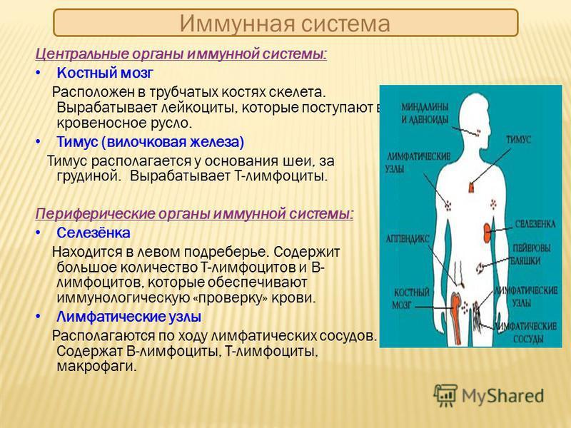 Иммунная система Центральные органы иммунной системы: Костный мозг Расположен в трубчатых костях скелета. Вырабатывает лейкоциты, которые поступают в кровеносное русло. Тимус (вилочковая железа) Тимус располагается у основания шеи, за грудиной. Выраб