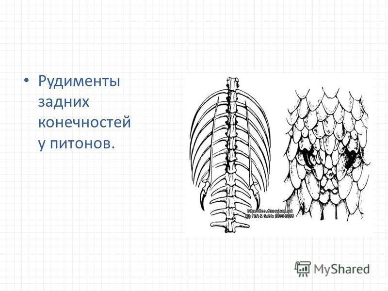 Рудименты задних конечностей у питонов.
