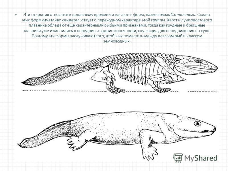 Эти открытия относятся к недавнему времени и касаются форм, называемых Ихтиостега. Скелет этих форм отчетливо свидетельствует о переходном характере этой группы. Хвост и лучи хвостового плавника обладают еще характерными рыбьими признаками, тогда как