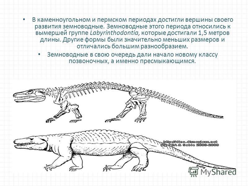 В каменноугольном и пермском периодах достигли вершины своего развития земноводные. Земноводные этого периода относились к вымершей группе Labyrinthodontia, которые достигали 1,5 метров длины. Другие формы были значительно меньших размеров и отличали