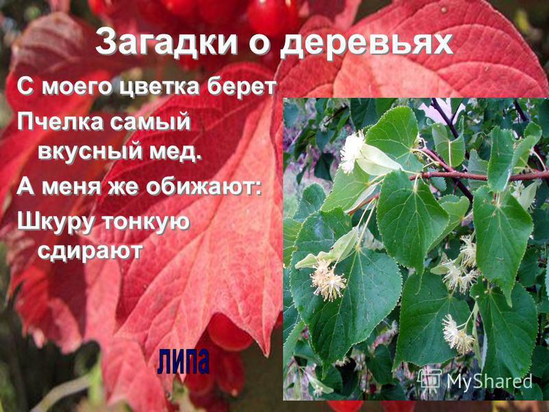Загадки о деревьях С моего цветка берет Пчелка самый вкусный мед. А меня же обижают: Шкуру тонкую сдирают С моего цветка берет Пчелка самый вкусный мед. А меня же обижают: Шкуру тонкую сдирают
