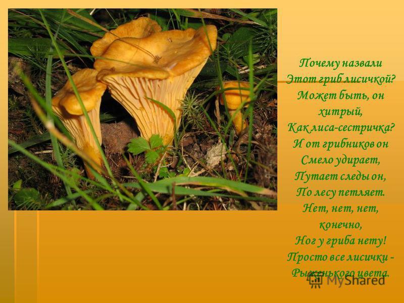 Почему назвали Этот гриб лисичкой? Может быть, он хитрый, Как лиса-сестричка? И от грибников он Смело удирает, Путает следы он, По лесу петляет. Нет, нет, нет, конечно, Ног у гриба нету! Просто все лисички - Рыженького цвета.