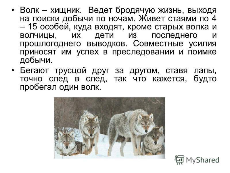 Волк – хищник. Ведет бродячую жизнь, выходя на поиски добычи по ночам. Живет стаями по 4 – 15 особей, куда входят, кроме старых волка и волчицы, их дети из последнего и прошлогоднего выводков. Совместные усилия приносят им успех в преследовании и пои
