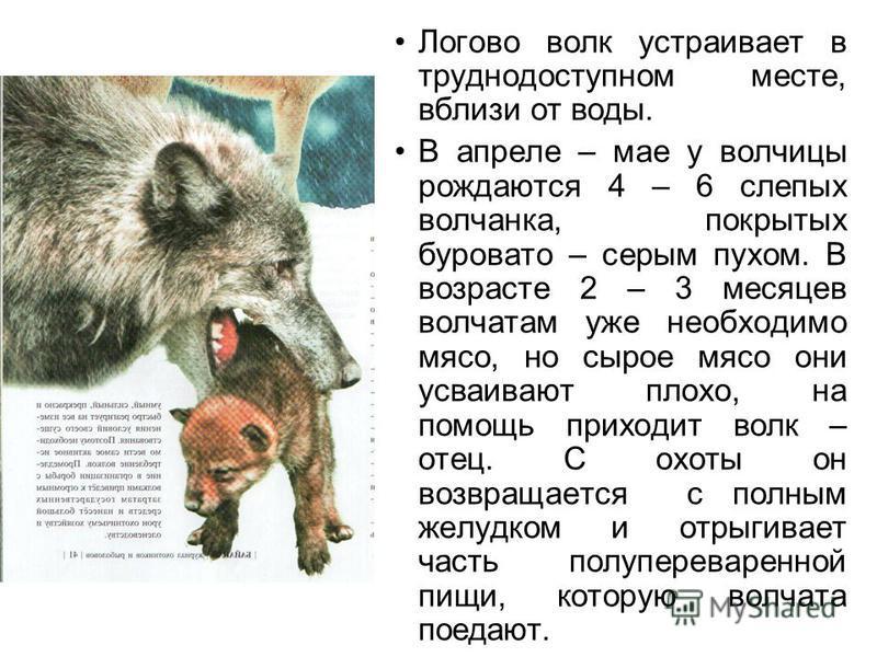 Логово волк устраивает в труднодоступном месте, вблизи от воды. В апреле – мае у волчицы рождаются 4 – 6 слепых волчанка, покрытых буровато – серым пухом. В возрасте 2 – 3 месяцев волчатам уже необходимо мясо, но сырое мясо они усваивают плохо, на по