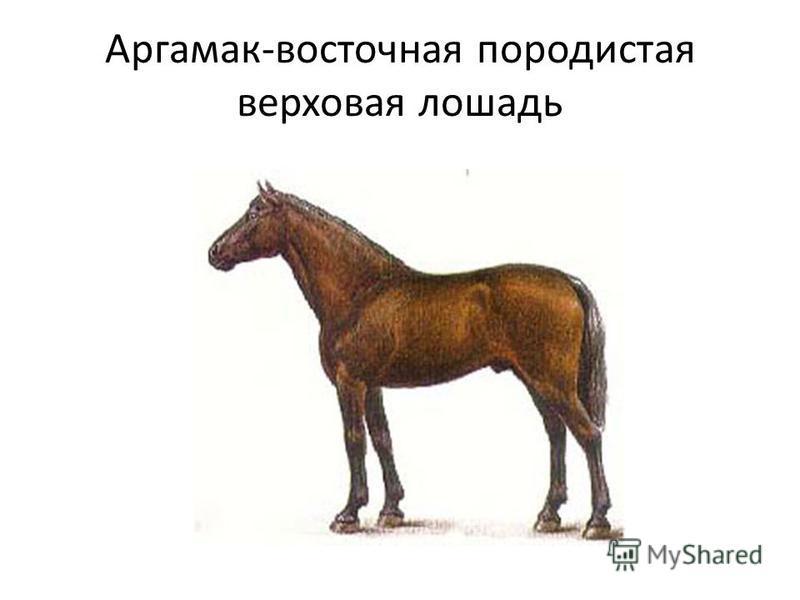 Аргамак-восточная породистая верховая лошадь