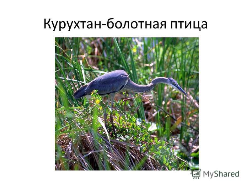 Курухтан-болотная птица