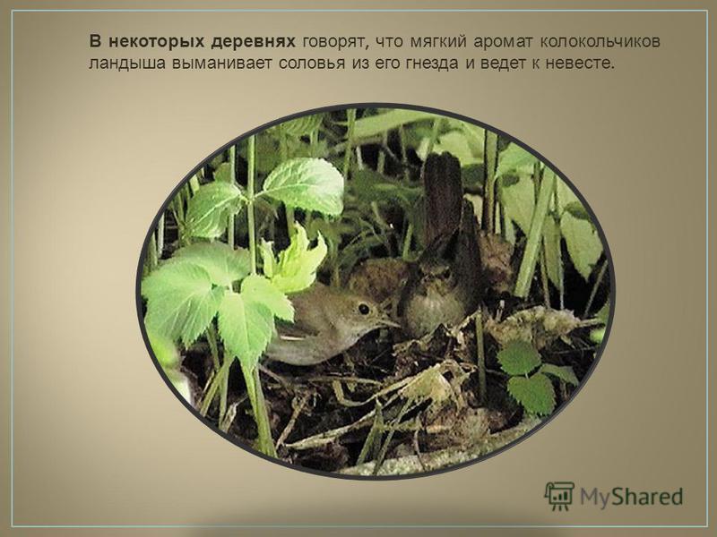 В некоторых деревнях говорят, что мягкий аромат колокольчиков ландыша выманивает соловья из его гнезда и ведет к невесте.