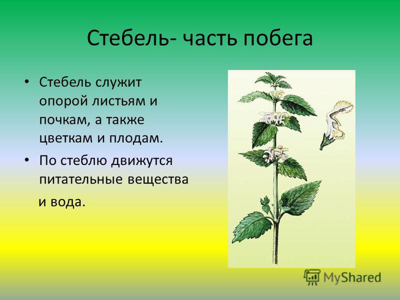 Стебель- часть побега Стебель служит опорой листьям и почкам, а также цветкам и плодам. По стеблю движутся питательные вещества и вода.