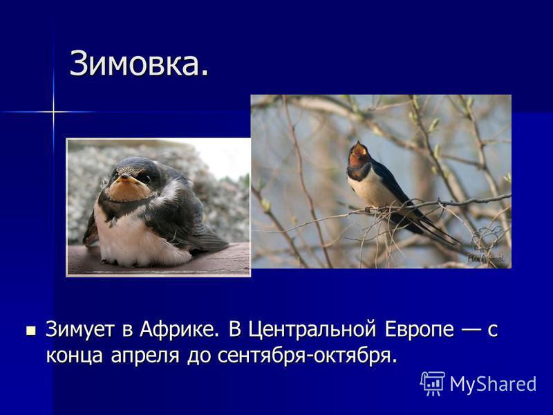 Зимовка. Зимует в Африке. В Центральной Европе с конца апреля до сентября-октября. Зимует в Африке. В Центральной Европе с конца апреля до сентября-октября.